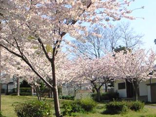 公園桜2009②.JPG