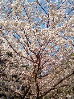 妙法寺川の桜.JPG