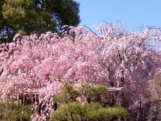 平安神宮のしだれ桜.JPG